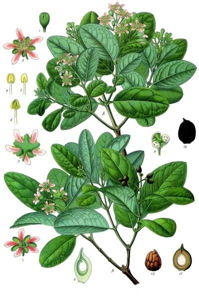 Boldo: ilustración botánica de Peumus boldus