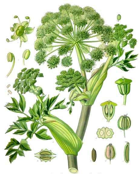 Planta Angelica archangelica: ilustración botánica